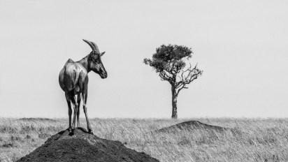 Red Hartebeest enjoying his view. Image taken in Maasai Mara, Kenya. - By Anna-Mart Kruger, Walvis Bay. Nikon D610, Sigma 150-600mm f/5-6.3, ISO 1600, f/25, 1/500 sec.