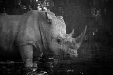 I took this picture from a hide in Pilanesberg National Park. The rhino came so close to the hide that I decided to shoot for the reflection only. This picture has not been cropped, but just put upside down. - By Chris Jek, Parkhurst