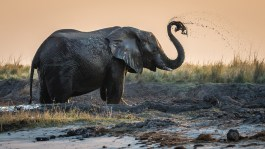 I took this shot while on a sunset cruise on the Chobe River in Botswana. We were lucky enough to watch this elephant crossing the river to an island for their evening grazing. After it left the water it spent time applying its mudpack for protection against insects. I was very lucky with lighting and position to be able to photograph this majestic animal. - By Dave Gale. Nikon D610, Sigma 150-600mm f/5-6.3, ISO 720, f/7.1, 1/1250 sec.