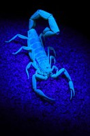 Scorpions tend to be nocturnal creatures not often seen during the day. So one night, I went in search of the arachnids. When exposed to ultraviolet, or UV, light at night, their exoskeletons glow a vibrant blue-green against the darkness. Using a tripod and cable release, and painting the scorpion with the UV light I photographed the creature as it glowed in the darkness. - By Johann Visser, Bloemfontein Canon 7D, Sigma 17-70mm f/2.8-4.5, ISO 400, f/22, 1.3 sec