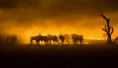 A small herd of wildebeest in the riverbed at Mata-Mata Rest Camp in Kgalagadi Transfrontier Park kicked up dust as they moved. The rising sun behind them created this silhouette. – By Alex Boonzaaier, Kleinmond. Canon 7D Mark II, Canon 100-400mm f/4.5-5.6L II, ISO 160, f/5.6, 1/5000 sec
