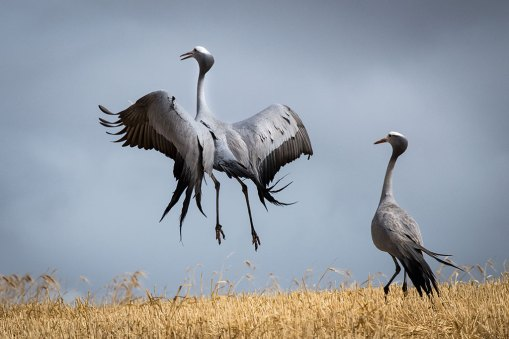 I was in the Overberg, Western Cape, when I came across a pair of blue cranes in the wheat fields, recently harvested. One of them suddenly started to jump up and down as if performing a dance, while the other looked on, suitably impressed. I managed to capture this frame at the perfect moment. – By Ken Woods, Cape Town. Nikon D850, Nikon 300mm f/4, ISO 400, f/9.5, 1/2000 sec.