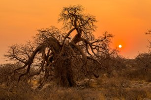 I fell in love with this very beautiful, obscured shape baobab on Kubu Island, Botswana. I had the camera on a tripod, taking a few images at different exposures, merging them in Lightroom to get a complete tonal range. I chose an f8 aperture for best colour of the beautiful sunrise. - By Bev Dudley, Johannesburg. Canon Eos 5d Mark 111, Canon Ef 24-70mm f2.8. ISO 100, f/8, 1/800sec