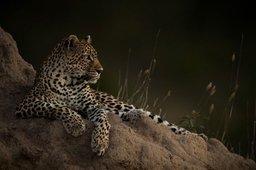 When we first found her, this leopard at Londolozi was lying under a bush in the shade, as it was a very hot day. When the sun started setting she moved to this ant mound, where she lay down in the last light of the day, relaxing peacefully before a night of hunting. – By Teresa Nel, Bloemfontein Nikon D5, Nikon 600mm f/4, ISO 1600, f/4, 1/250 sec