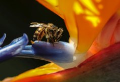 I took this image of this Bee in my garden at home in Jeffrey's Bay- Eastern Cape. The bee was collecting nectar from inside a flower. I sat in the middle of the Strelitzia plant waiting patiently for him to come out and then I took endless pictures of him from all angles (how I did not make him angry I do not know as I was very close to him. I think he was just focused on collecting nectar and didn't give me a second thought) The shots were taken holding the camera, as I could not get my tripod in the garden. This was my favourite shot, with the bee being slightly backlit and the vibrant Strelitzia flower. By Jean Goldstone. Canon 1DX mark ll , Canon 100mm Macro Lens, ISO 640 , f/6.3 1/400sec