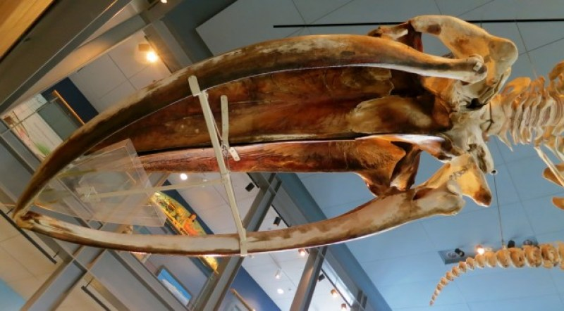 Blue Whale skull still leaching oil at New Bedford Whaling Museum #VisitMA @GetawayMavens