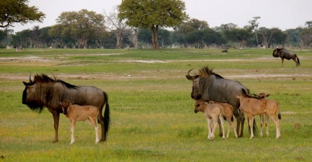 Wildebeest With Babies