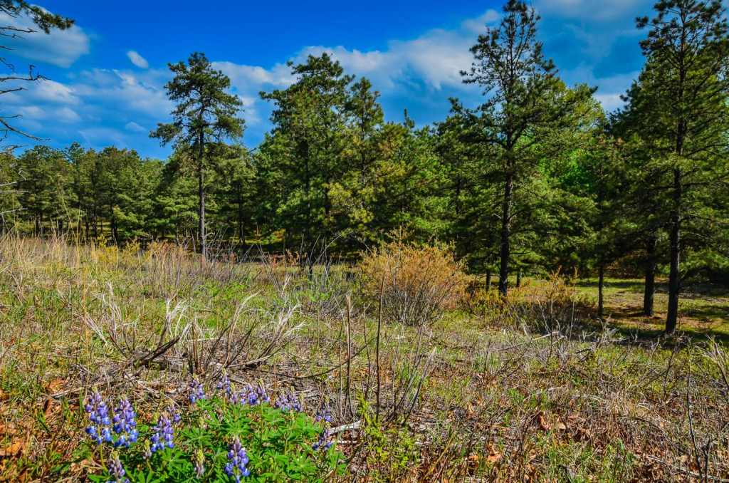 Lupines bloom on the pine barrens of Pine Bush Preserve in Albany, New York.