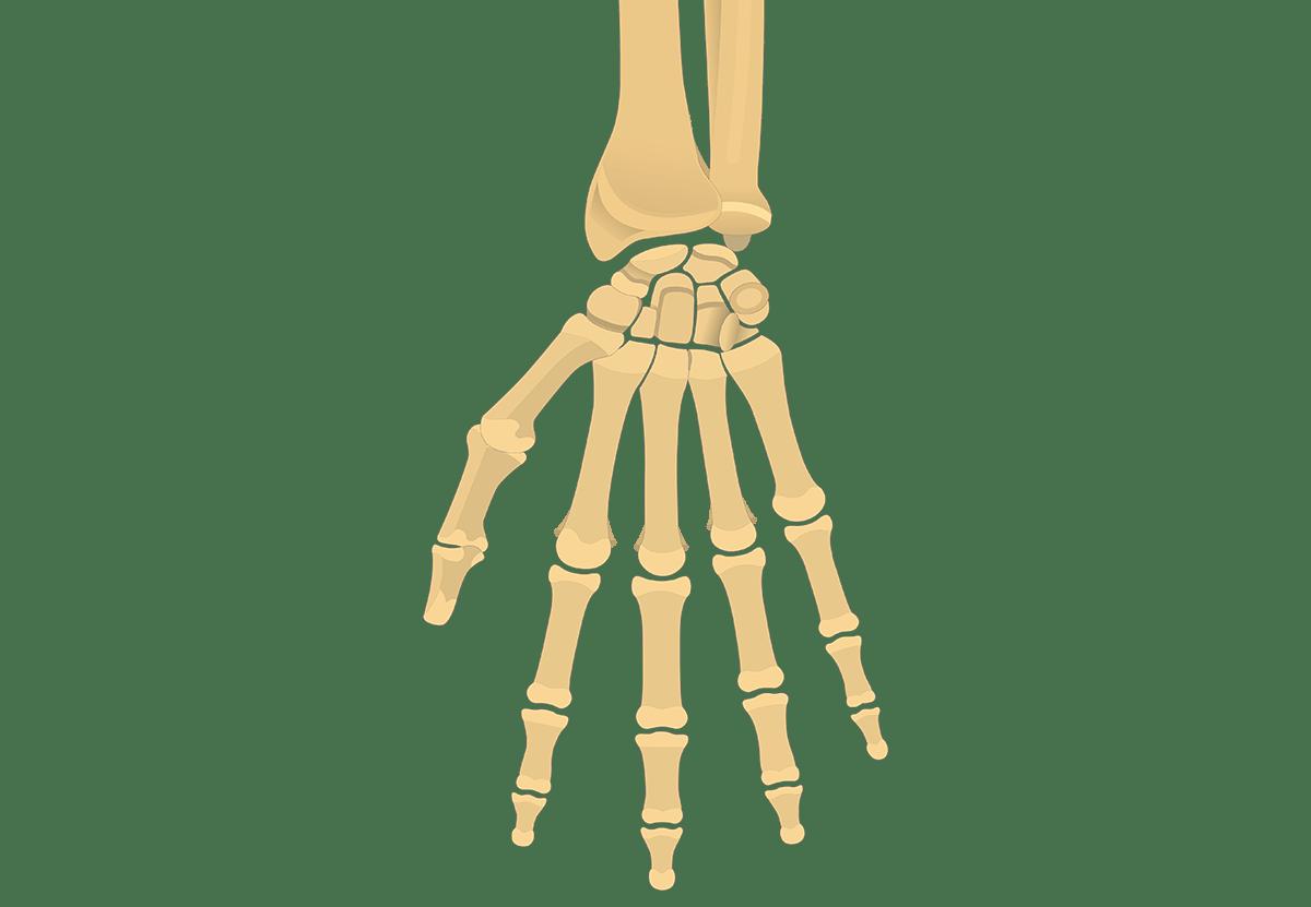 Radius And Ulna Bones Anatomy