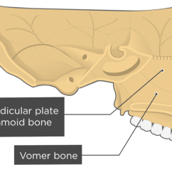 Ethmoid Bone Diagram Yamaha G9 Wiring Of Vomer Block Nasal And Inferior Turbinate Concha Bones Anatomy Commercial Street Light