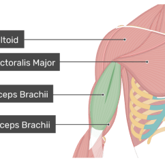 Triceps Brachii Diagram Word Problems Sets Venn Diagrams Biceps Attachments Action Innervation An Anterior View Of The Arm Muscles With Labels For Deltoid Pectoralis Major