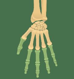 phalanges phalanx bones anterior palmar view [ 1200 x 831 Pixel ]