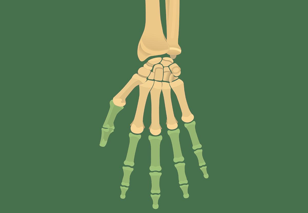blank humerus diagram 3000gt wiring phalanges (phalanx bones): anterior (palmar) view