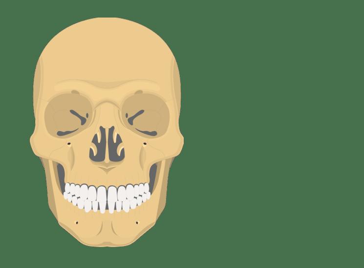 unlabeled skull diagram inferior view prs hfs wiring the bones anterior