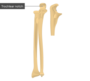 Radius and Ulna Bones Anatomy  Anterior Markings
