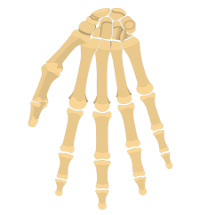 Wrist And Hand Unlabeled Diagram How To Convert Uml Java Code General Anatomy Of The Bones