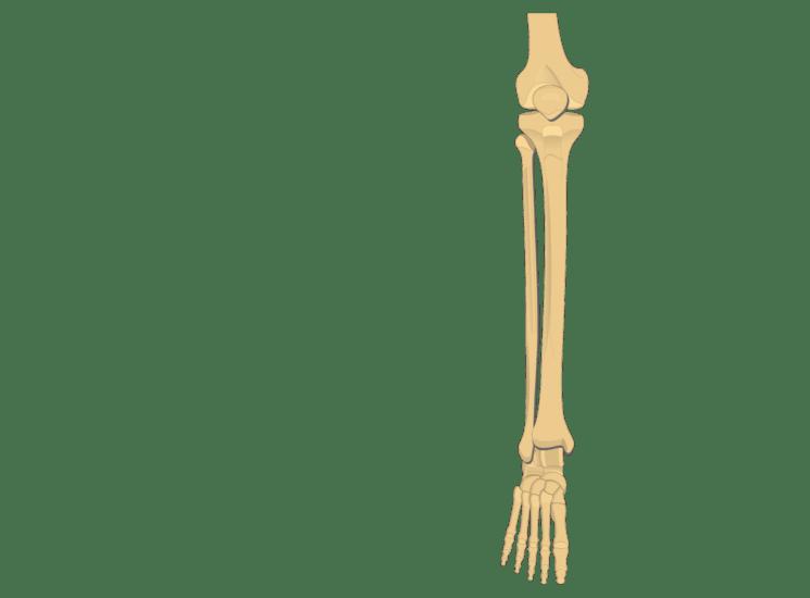tibia and fibula blank diagram 2007 suzuki eiger wiring bone online bones introduction fracture clavicle articulation