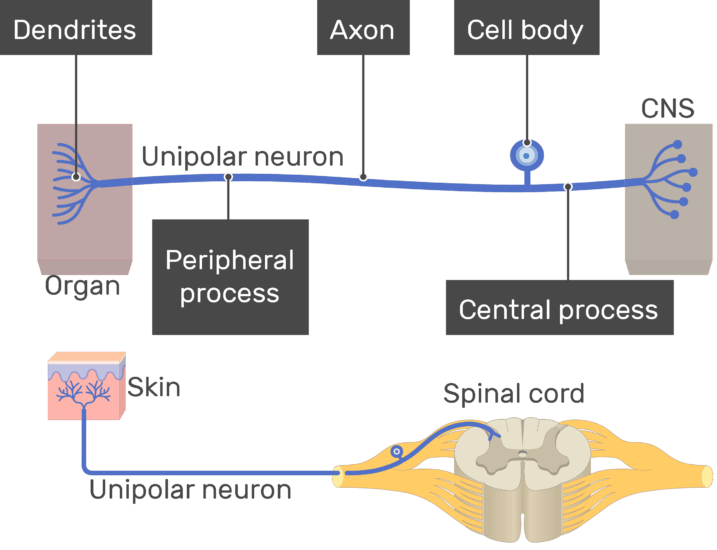 central nervous system labeled diagram 2000 jeep cherokee sport wiring unipolar neuron - structure and functions