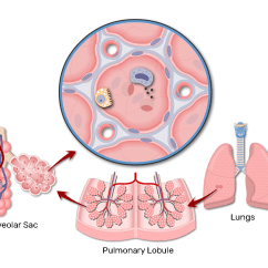 Lung Alveoli Diagram Toyota Car Alternator Wiring Location Of Alveolar Ducts And Sacs