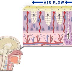 diagram of respiratory system nose [ 1200 x 831 Pixel ]
