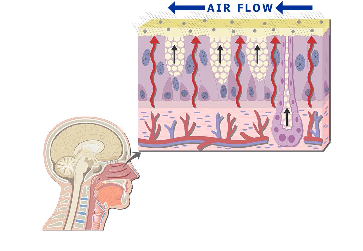 hight resolution of nose diagram mucu