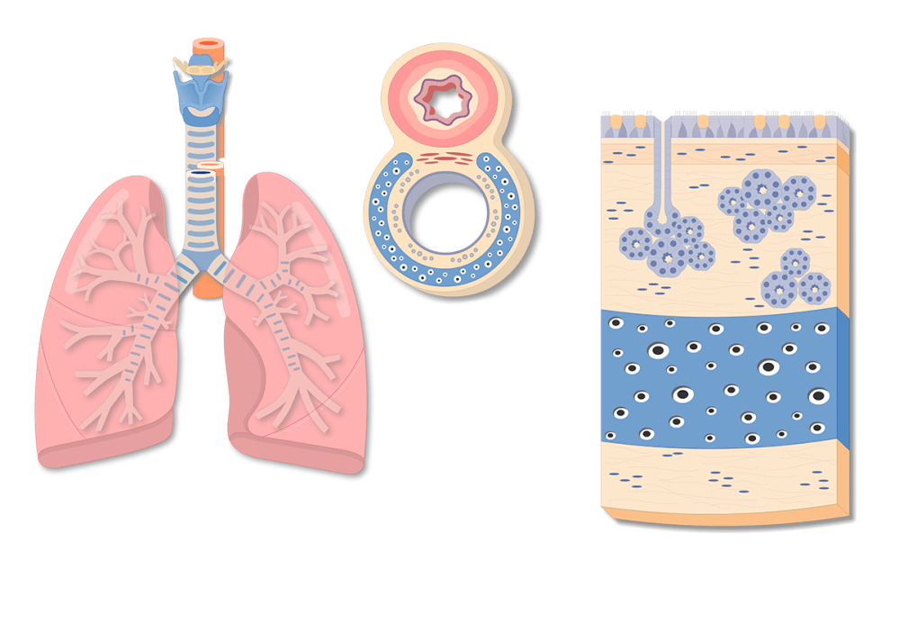 medium resolution of tracheal wall composition and structure anatomy of the tracheal tube or windpipe