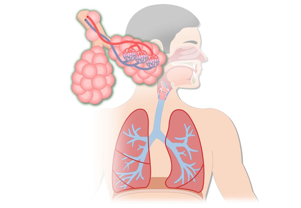 medium resolution of respiratory system anatomy major zones divisions