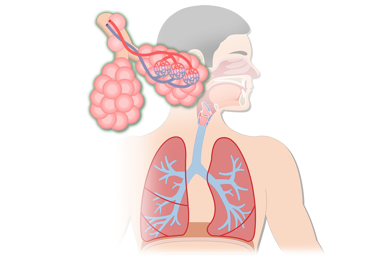 hight resolution of respiratory system anatomy major zones divisions