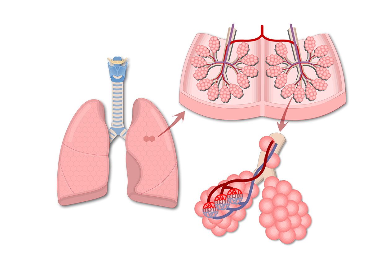 hight resolution of lung alveoli location of alveolar ducts and alveolar sacs