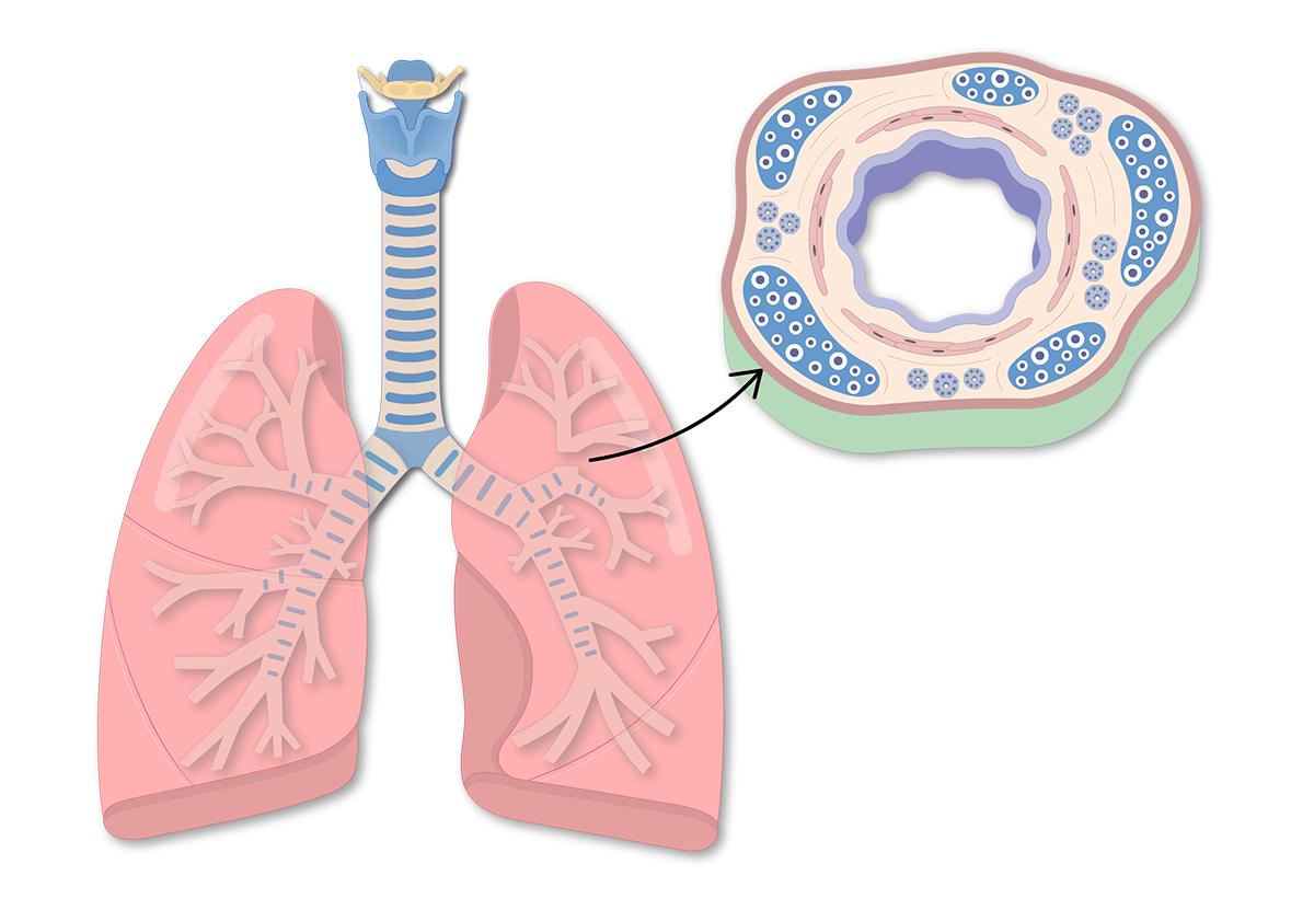 hight resolution of bronchi anatomy bronchial wall anatomy bronchus wall anatomy