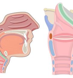 throat diagram including larnyx [ 1200 x 831 Pixel ]
