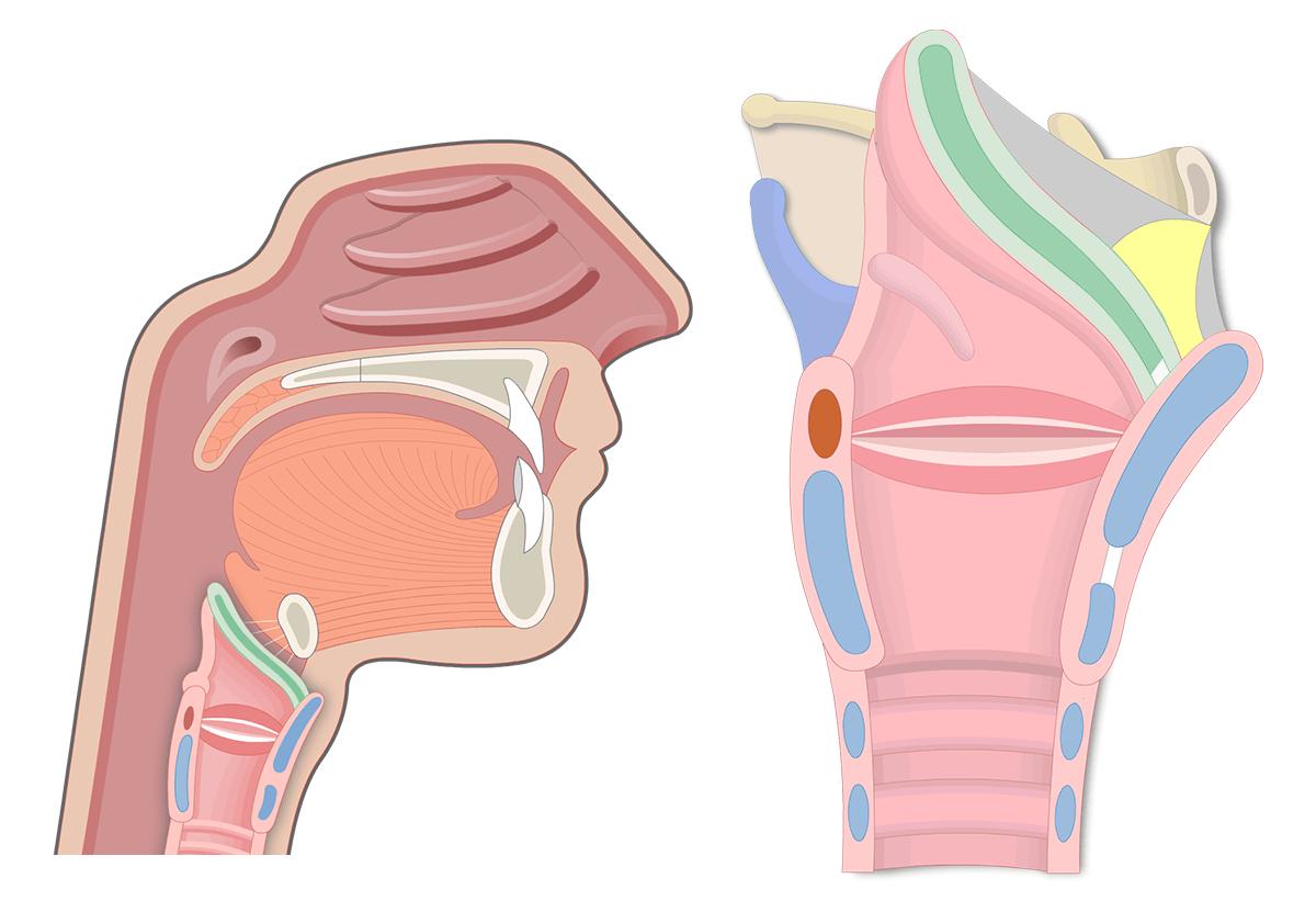 hight resolution of throat diagram including larnyx