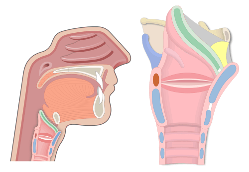 small resolution of throat diagram including larnyx