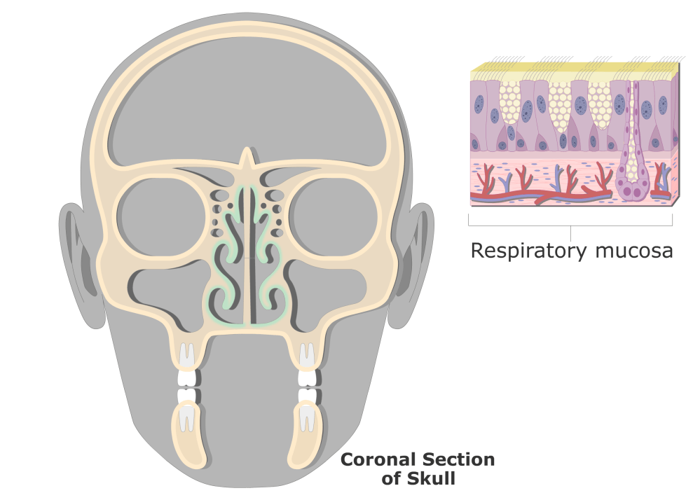 medium resolution of coronal view of the respiratory mucosa and highlighted