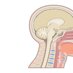 Diagram Of The Nose And Its Functions 2003 Honda Accord Fuse Box Nasal Cavity Structure Sagittal View Head Showing
