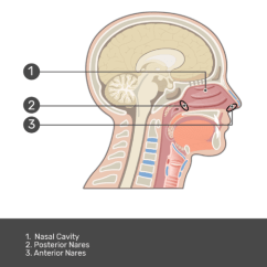 Parts Of The Nose Diagram Simple Home Electrical Wiring And Nasal Cavity | Structure & Functions