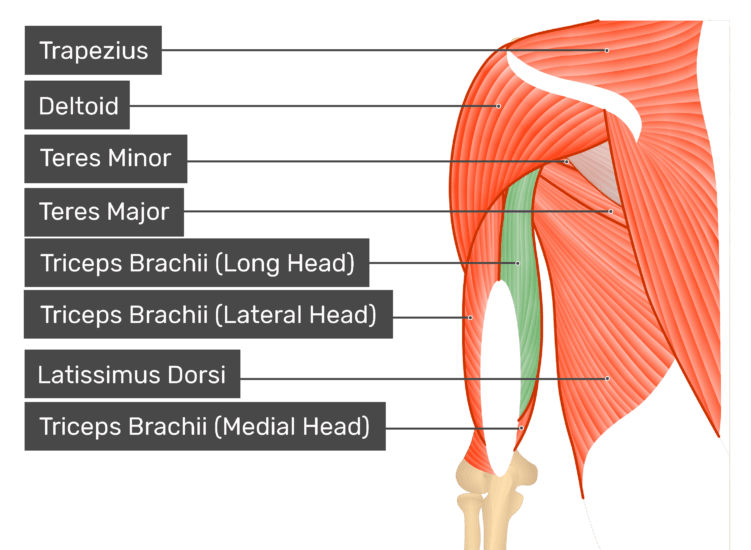 triceps brachii diagram harley davidson dallas muscle long head posterior view of the shoulder and arm highlighted muscles labelled