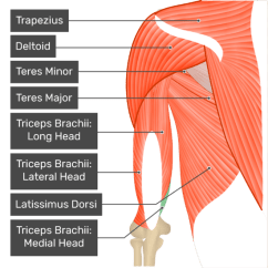 Triceps Brachii Diagram Data Link Connector Wiring Muscle Medial Head A Posterior View Of The Upper Arm And Shoulder Showing Bony Elements Associated