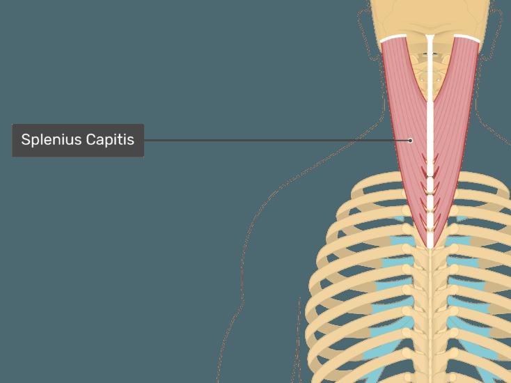 Semispinalis Capitis Capitus Splenius