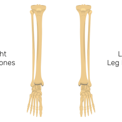 Tibia And Fibula Blank Diagram Dsc 1550 Wiring Bones Quiz Anterior Markings