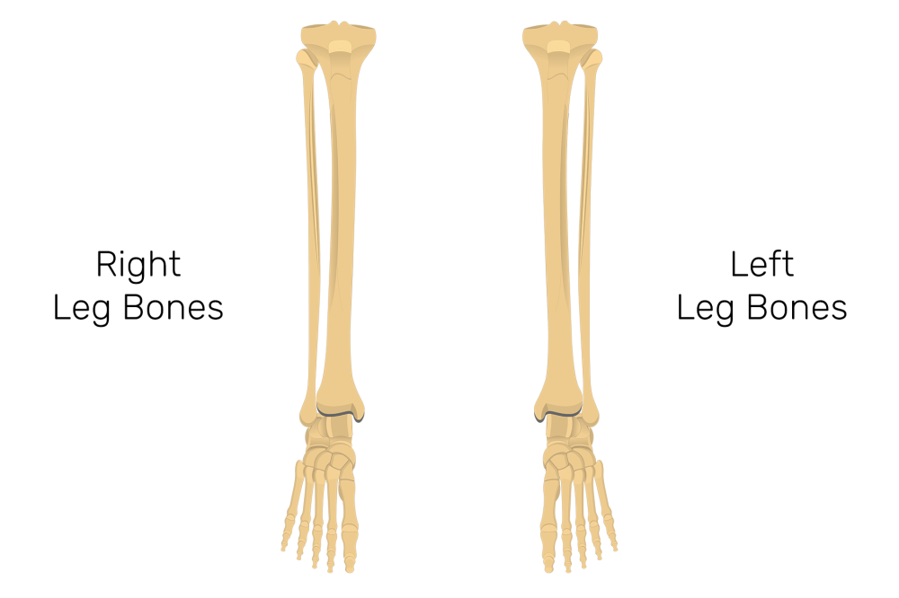 medium resolution of tibia and fibula bones quiz anterior markings