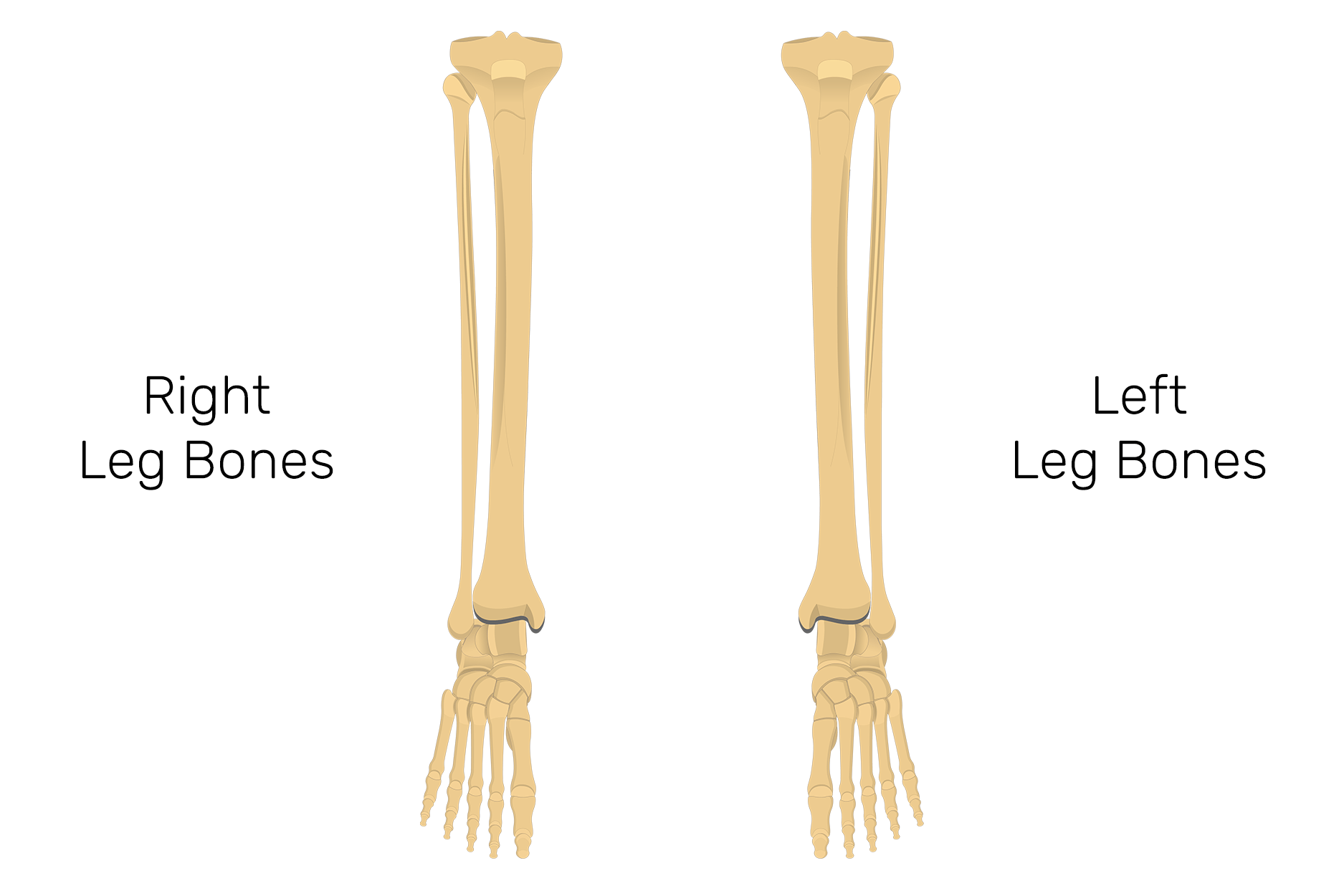 hight resolution of tibia and fibula bones quiz anterior markings