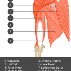 Triceps Brachii Diagram 2004 Gmc Yukon Radio Wiring Muscle Medial Head A Test Yourself Image Of The Posterior View Upper Arm And Shoulder Showing