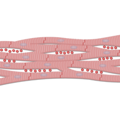 Cardiac Muscle Tissue Diagram Labeled Minn Kota Wiring 24 Volt Data Of Cells And Tissues