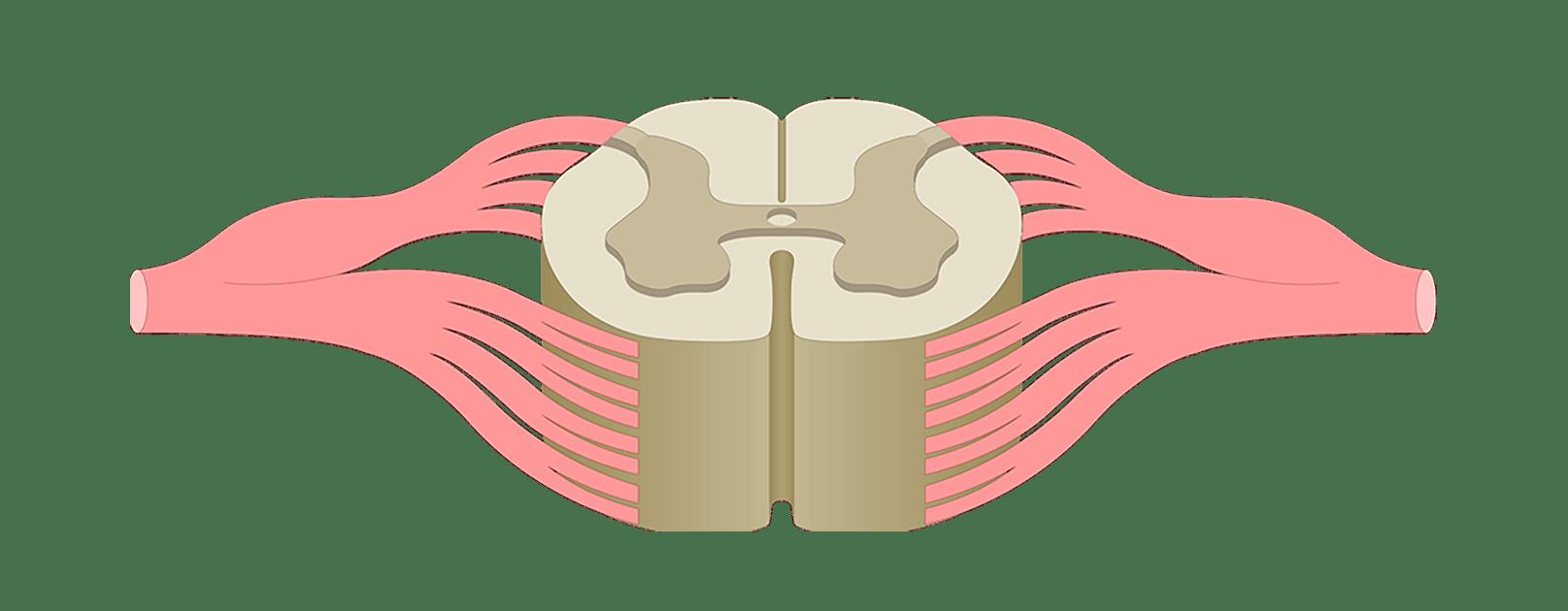 respiratory diagram unlabeled 2000 pontiac grand prix wiring spinal cord quiz: cross-sectional anatomy
