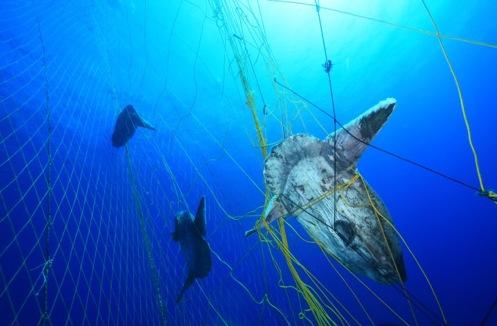 Gillnets are not a sustainable fishing method, catching these sunfish as bycatch when targeting tuna.