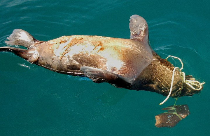 when sustainable fishing methods are not used pots and traps can get loose and continue to entangle and trap bycatch.