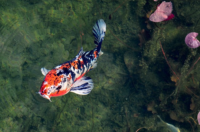 fish-in-garden-pond