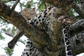 leopard_1f