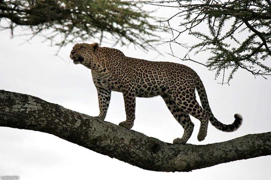 leopard_6f
